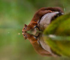 Бесплатные фото белка,вода,отражение,squirrel,water,reflection