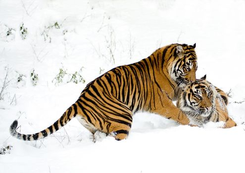 Two tigers fooling around in the snow · free photo