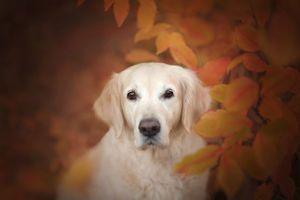 Ретривер с осенней листвой · бесплатное фото