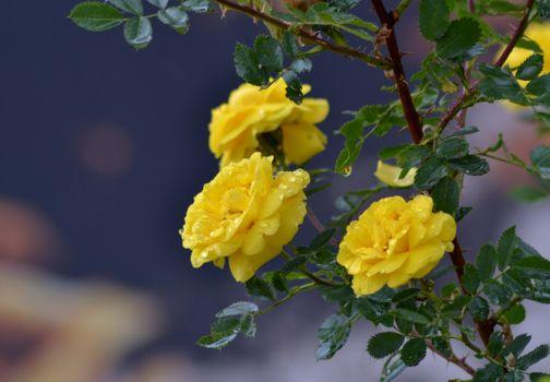 Фото бесплатно желтые розы, ветки, вода
