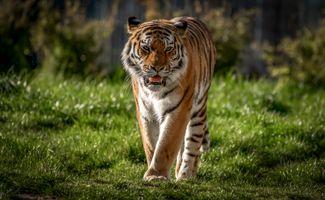 Фото бесплатно Panthera tigris altaica подвид тигра, большая кошка, хищник