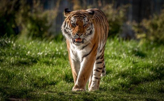 Заставки Panthera tigris altaica подвид тигра, большая кошка, хищник