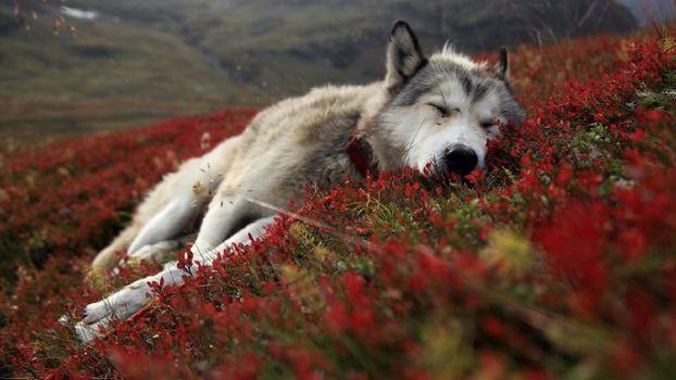 Волк лежит на цветах