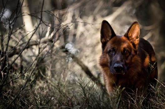 Photo free dog, forest, german