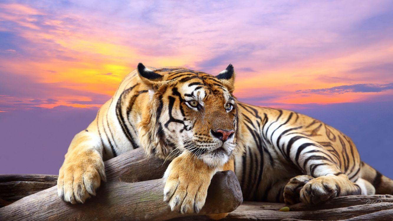 Фото бесплатно закат, тигр, хищник - на рабочий стол