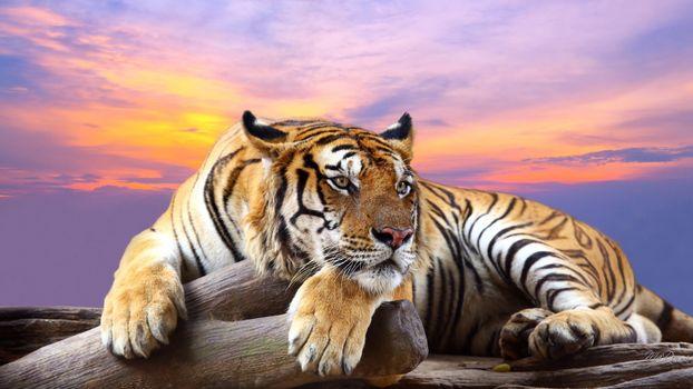 Фото бесплатно закат, тигр, хищник