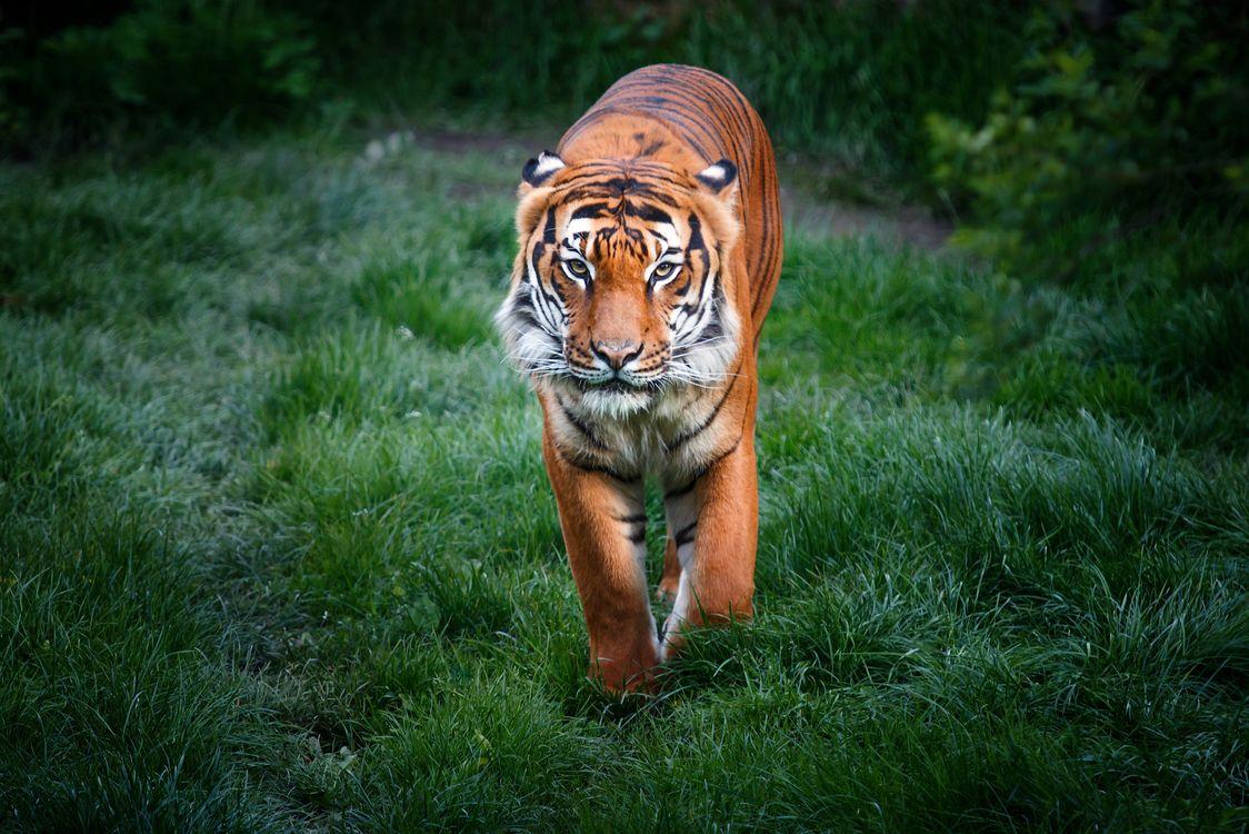 Фото бесплатно Bengal Tigers, грациозная походка, лапы - на рабочий стол