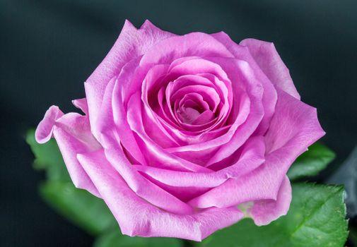 Бесплатно цветок, фото розы горячие