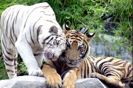 Заставки белый тигр, амурский тигр, кошка
