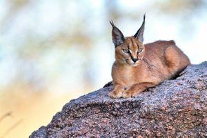 Заставки Каракал, длинные уши, кошка