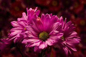 Фото бесплатно цветы, букет, хризантемы, флора, Pink Celebration