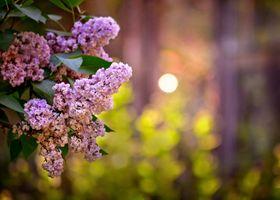 Бесплатные фото сирень,ветка сирени,цветы,флора
