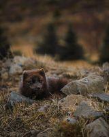 Бесплатные фото коричневая,исландская,арктическая,арктическая лиса,лиса
