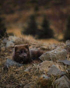 Заставки коричневая, исландская, арктическая