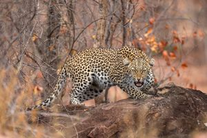 Photo free animal, predator, Leopard in tree