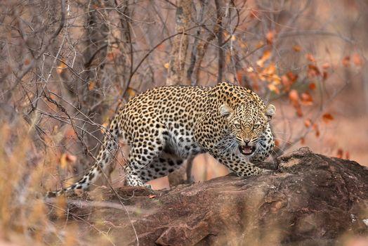 Заставки животное, хищник, леопард в дерево