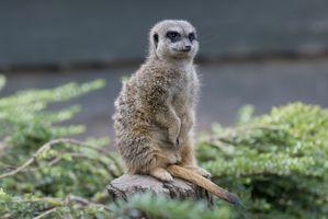Бесплатные фото meerkat,на пеньке,suricate,suricata,suricatta,сурикаты,сурикат