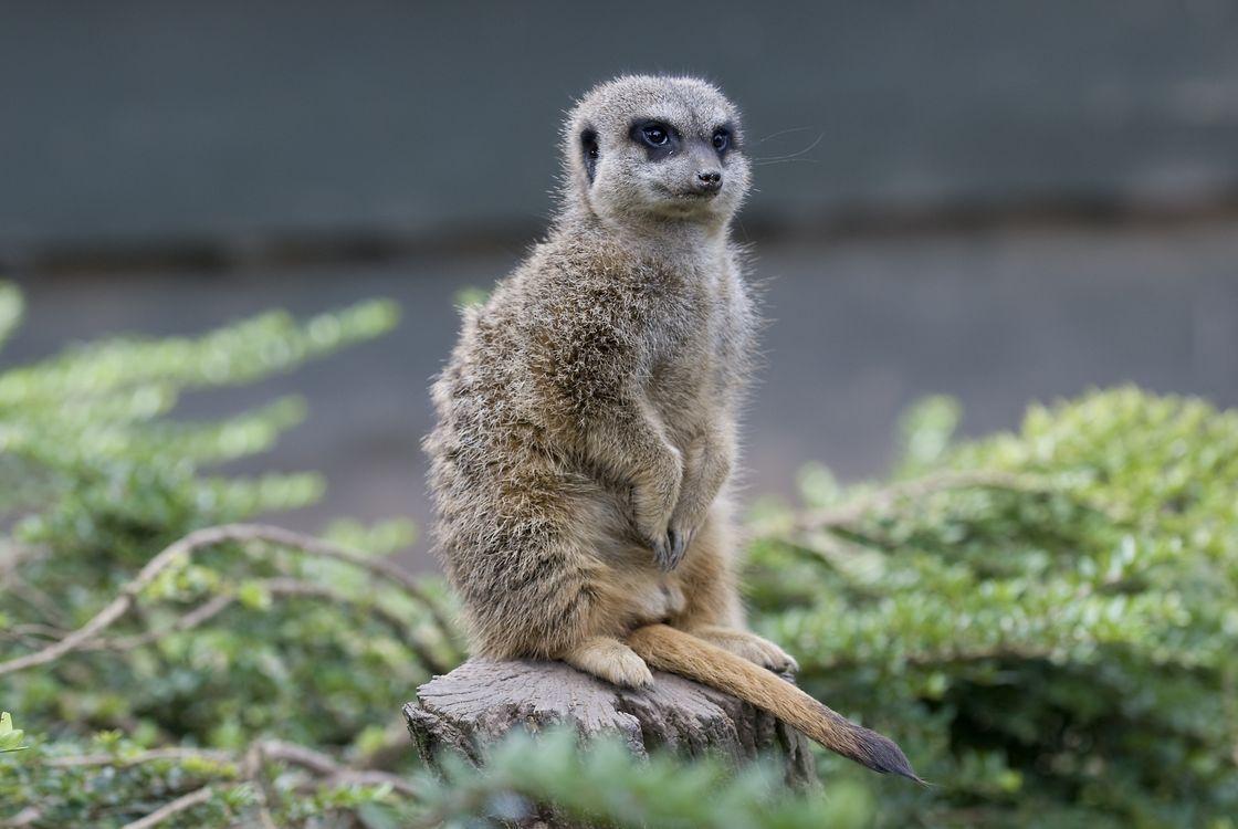 Фото бесплатно meerkat, на пеньке, suricate - на рабочий стол