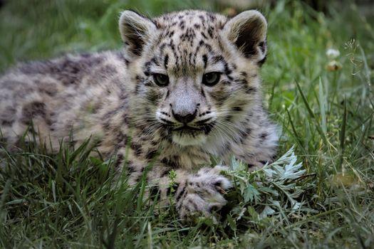 Фото бесплатно котенок, зоопарк, Молодой снежный барс