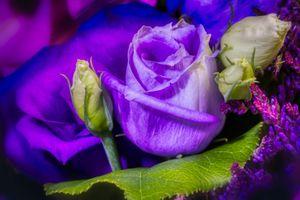 Бутон фиолетовой розы