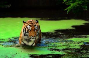 Фото бесплатно тигр, в болоте, болото