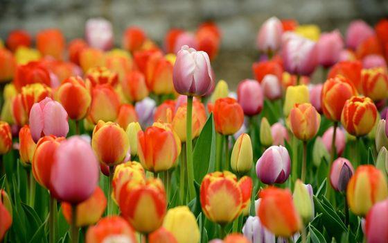 Фото бесплатно красочные тюльпаны, сад, помутнение