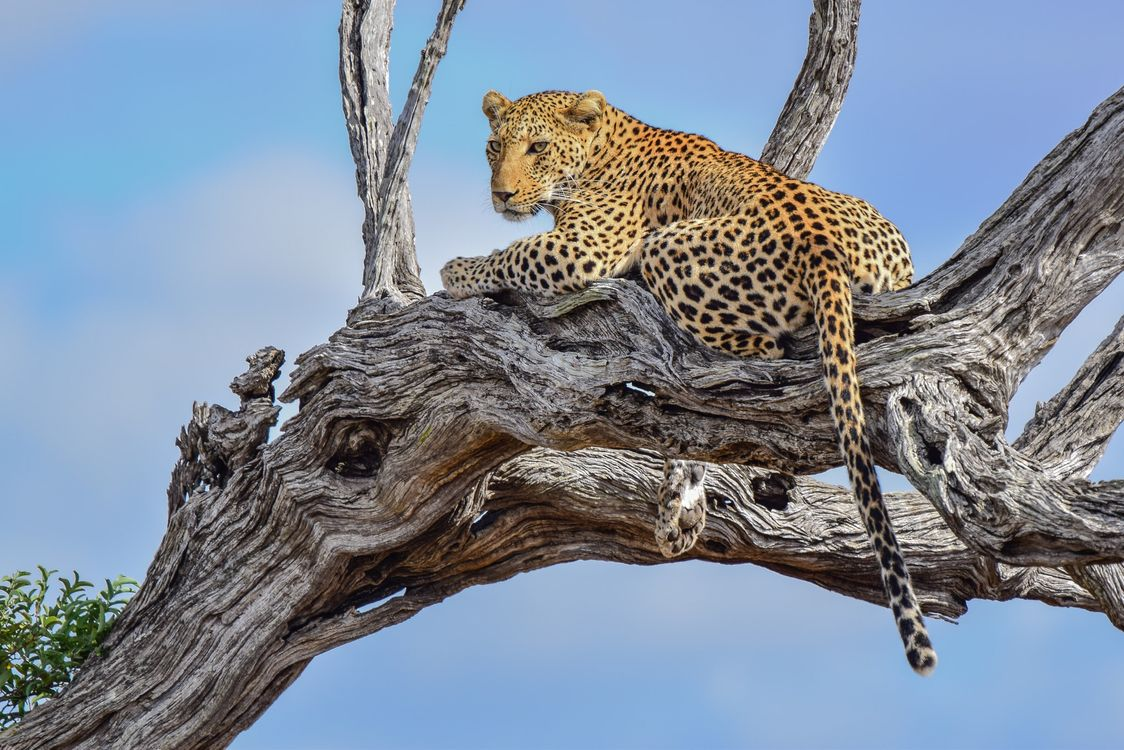 Free photo Leopard in tree, dry tree, tail - to desktop