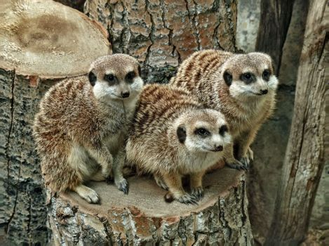 Три суриката на пеньке · бесплатное фото