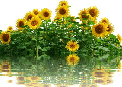 Фото бесплатно большое поле, поле подсолнухов, флора