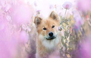 Евразиер в розовых маках · бесплатное фото