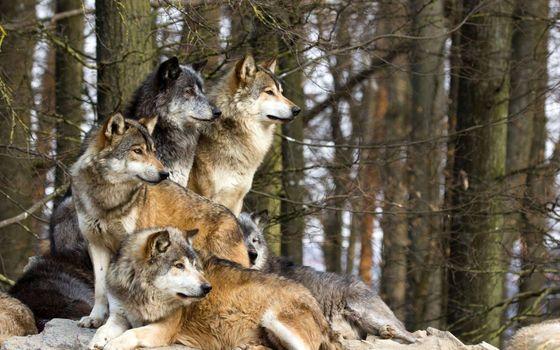 Заставки волки, деревья, глядя в сторону