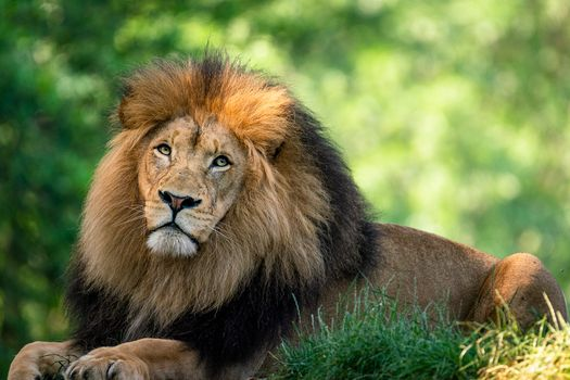 Photo free the lion, king of beasts, biggest cat