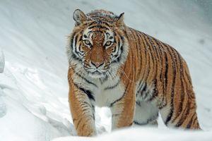Бесплатные фото тигр,хищник,оскал,зима,снег,природа