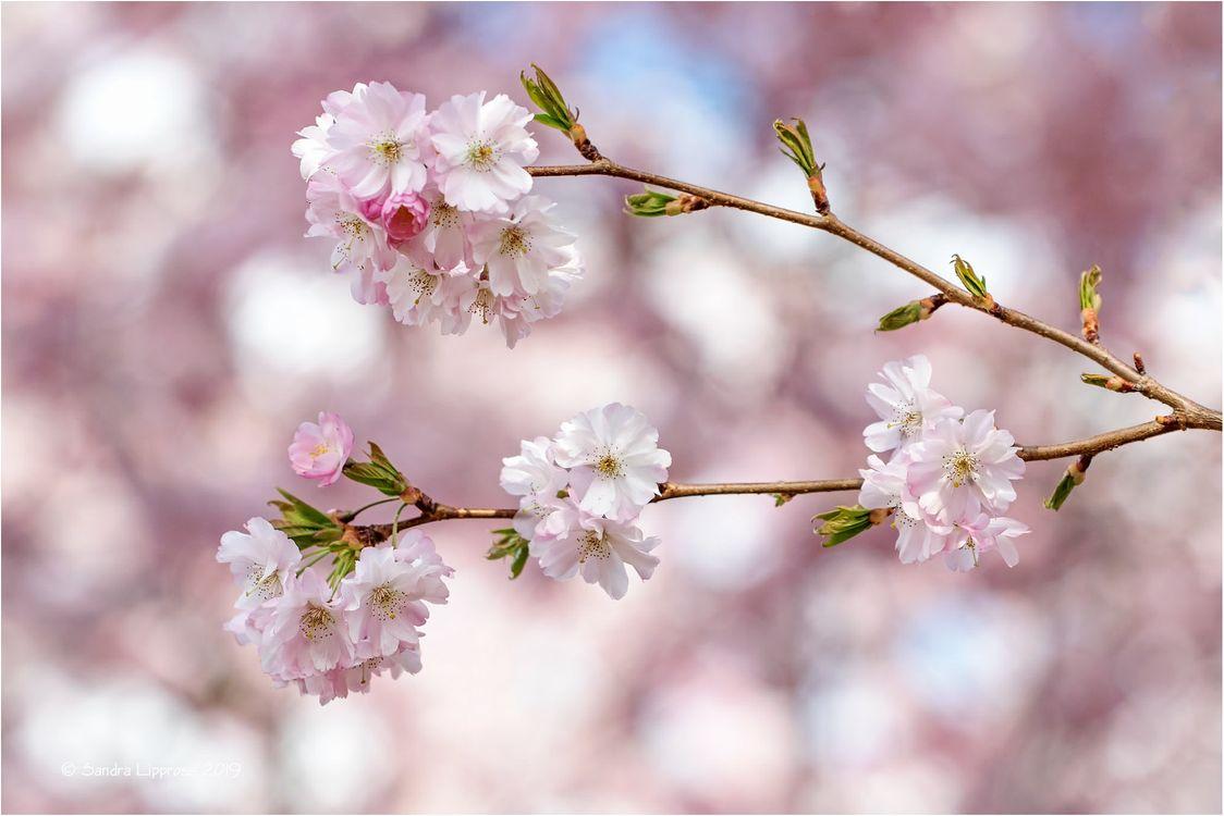 Фото бесплатно Cherry Blossoms весна цветение, цветущие ветви, флора - на рабочий стол