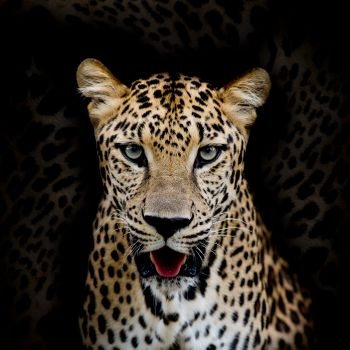 Заставки кошачий, хищник, леопардовый портрет