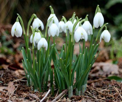 Заставки подснежник,растаявший снег,земля,листья,лепестки,зелень,весна,природа