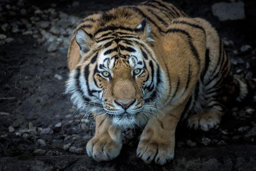Фото бесплатно лицо, глаза, тигр