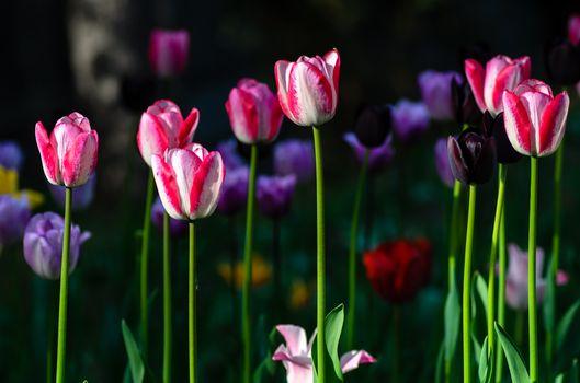 Скачать заставку цветы, тюльпан на телефон бесплатно