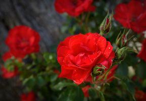 Бесплатные фото красная,роза,цветок,садовые розы,розовая семья,растение,флорибунда