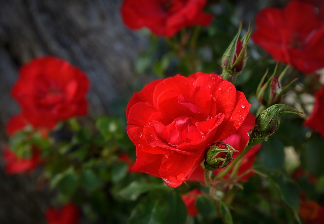 Обои дикий цветок, кустарник, розы картинки на телефон