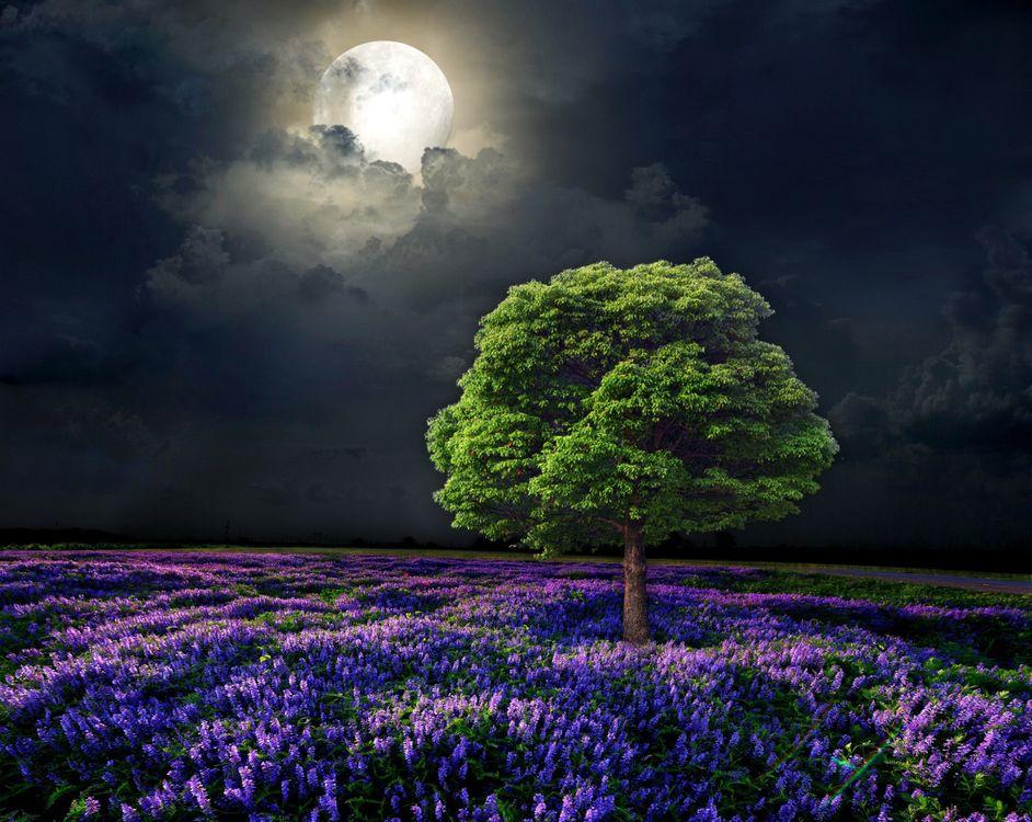 Фото бесплатно ночь, луна, лунный свет, поле, лаванда, лавандовое поле, дерево, пейзаж, пейзажи