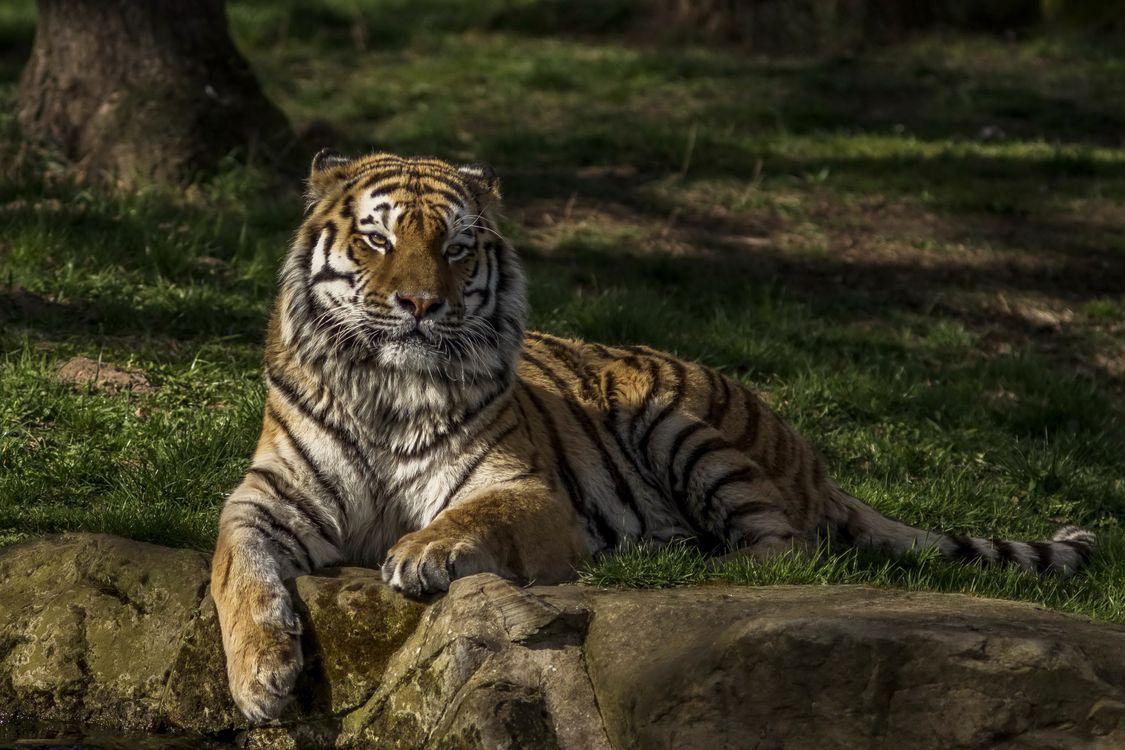 Фото бесплатно тигр, лежит, хищник - на рабочий стол