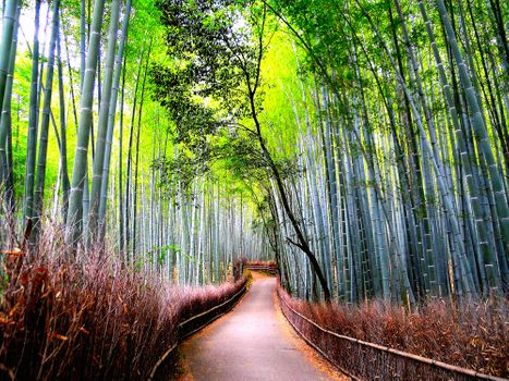 Photo free Arashiyama, bamboo forest, trees