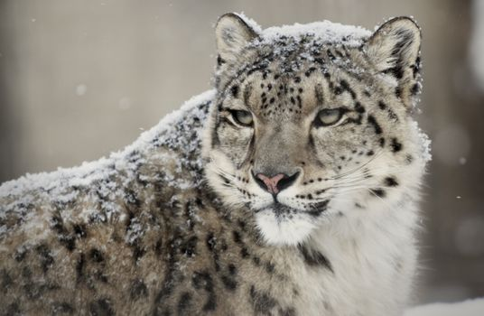 Снежный барс - морда · бесплатное фото