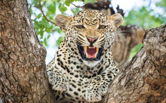 Фото бесплатно леопард, зубы, хищник