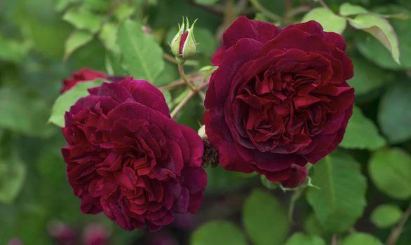 Летний кустарник роз · бесплатное фото