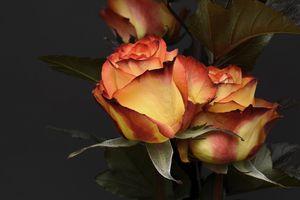 Фото бесплатно розы, флора, лепестки