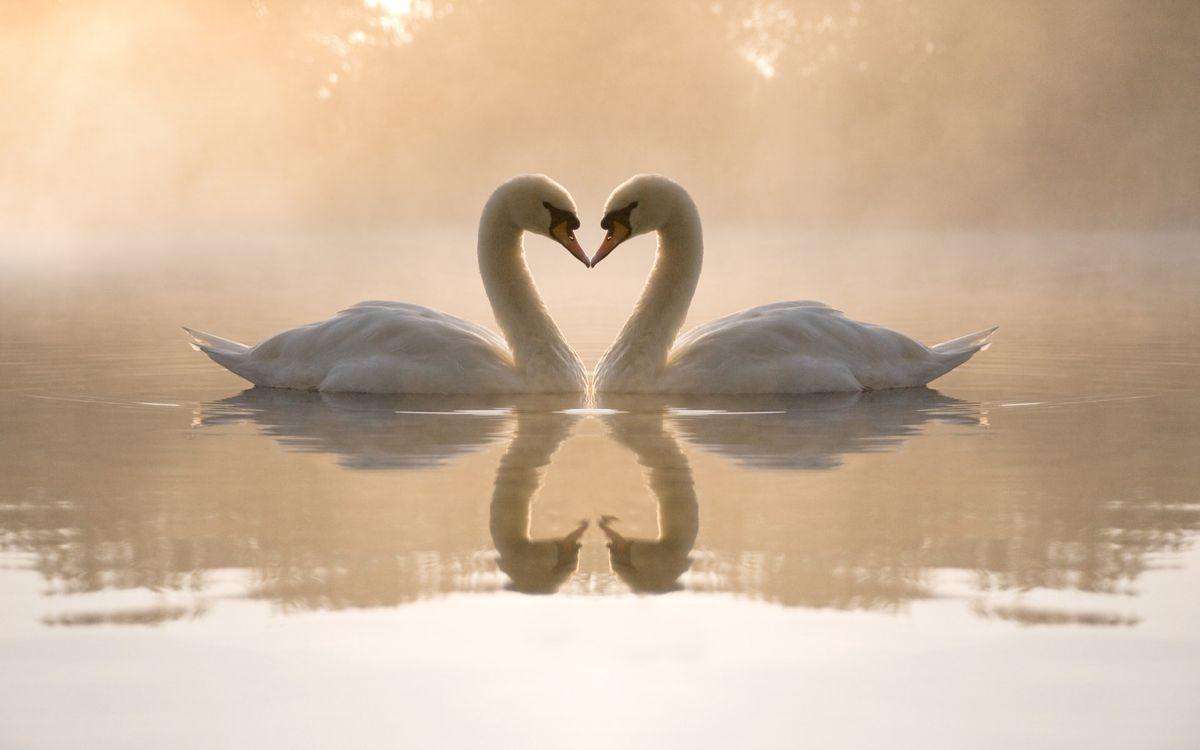 Фото бесплатно лебеди, озеро, отражение - на рабочий стол