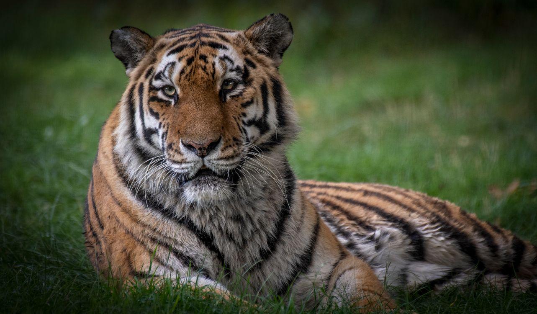 Картинки на тему тигр белому и бурому медведям подвид тигра, хищник