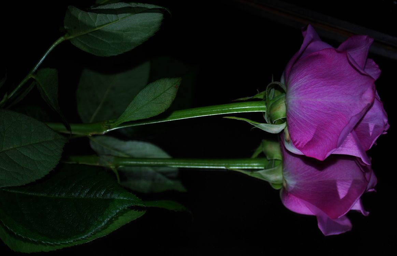 Картинка цветок, цветы, роза, розы, флора на рабочий стол. Скачать фото обои цветы